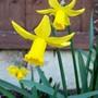 Daffodils (Narcissus cyclamineus (Daffodil))