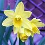 Dwarf Daffodils (narcissus)