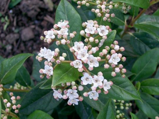 Viburnum tinus (Viburnum tinus (Laurustinus))