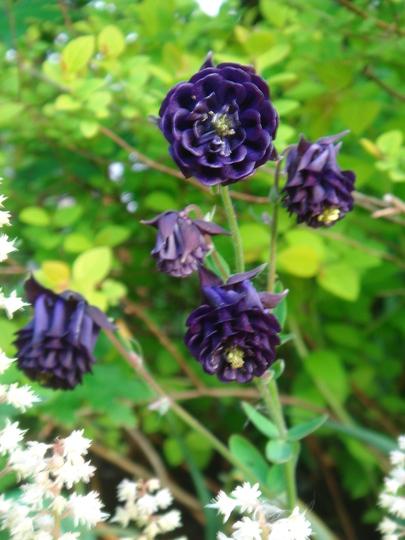 Aquilegia Columbine - May 2007 (Aquilegia vulgaris)