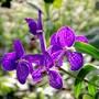 mauve_orchid.jpg