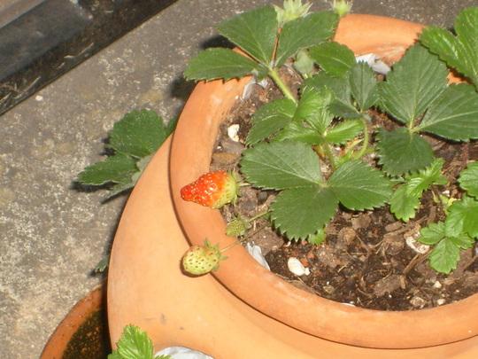 Reddening strawberry. (Fragaria vesca (Alpine Strawberry))