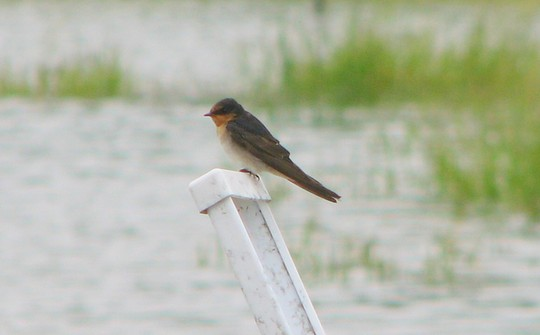 Still lots of water around - Welcome Swallow on roadside guidepost.
