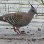 Crested_pigeon_3