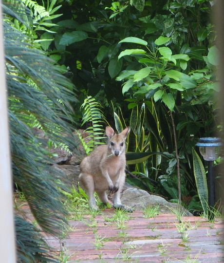 This morning a joey dropped by the courtyard to have breakfast.