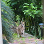 Wallaby_33