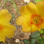 The sun jewels are open again - not much sun though! (Portulaca grandiflora (Double Rose Moss))