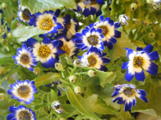 Closer to Cineraria Blue (Senecio cineraria (Senecio))