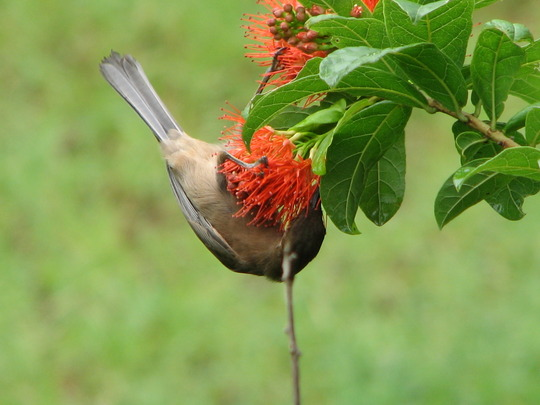 The honeyeater birds are out looking for nectar again!