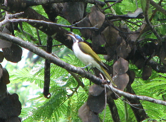 Another honeyeater spotted out and about today!