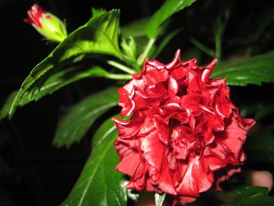 Red Hibiscus (Hibiscus rosa-sinensis (Cultiva, Chinese Hibiscus))