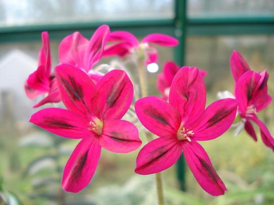 Unknown pelargonium