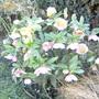 Hellebore -- Helleborus Orientalis (Lenten rose) (Helleborus orientalis (Lenten rose))
