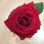 Gran Prix Rose