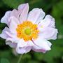 Anemone (Anemone)