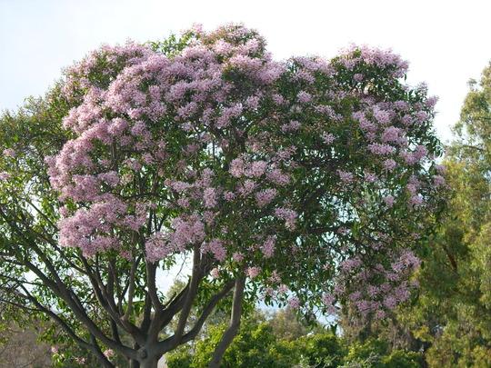 Calodendron capense - African Cape Chestnut (Calodendron capense - African Cape Chestnut)