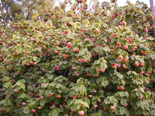 Dombeya wallichii - Tropical Hydrangea (Dombeya wallichii)
