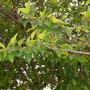 Ficus coronata -  Sandpaper Fig (Ficus coronata -  Sandpaper Fig)