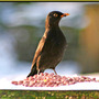 Blackbird_2sml