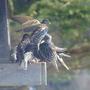 starlings2.jpg