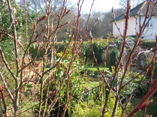 Through the flowering currant
