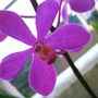 Pink orchid close up (mokara)