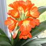 Clivia (Clivia miniata (Clivia))