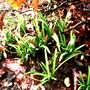 Snowdrops 02.09 (Galanthus nivalis)