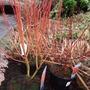 Cornus sericea 'Cardinal' (Cornus sericea 'Cardinal')