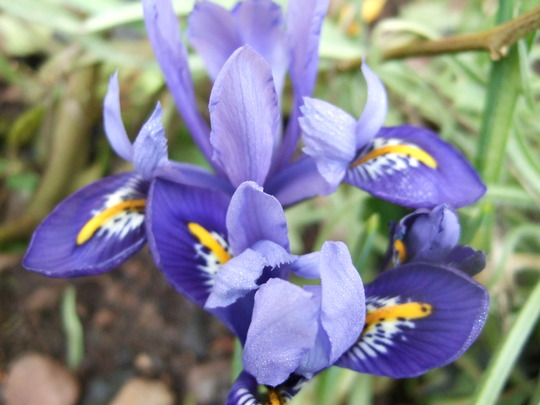 Clump of Iris reticulata