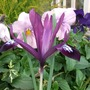 Iris_reticulata_in_big_pot