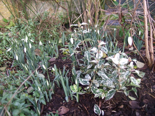 Euonymus fortunei 'Harlequin' amongst the snowdrops. (Euonymus fortunei (Euonymus))