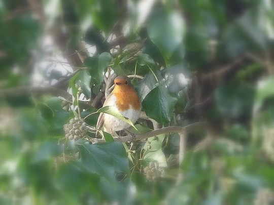 Robin in ivy.