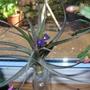 An 'Air' Plant!