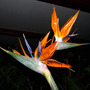 Double-Header !! (Strelitzia reginae (Bird of paradise))