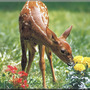 Fawn_sniff_flowers_35_mm_sm_hr