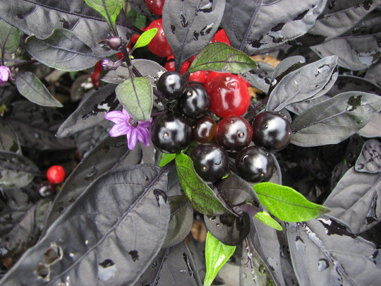 Black pearl pepper (Capsicum annuum)