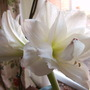 Amarillys (Hippeastrum papilio (Butterfly amaryllis))