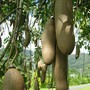 Kigelia pinnata (Kigelia africana (Sausage Tree))