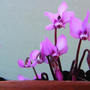 Cyclamen coum (Cyclamen coum)