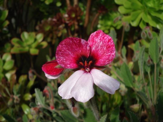 Pelargonium Splendide