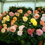 Begonia display at flower show. (Begonia)