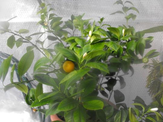 Orange..Tree