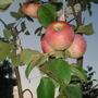 My_apple tree/last summer