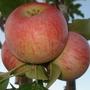 My_apple tree