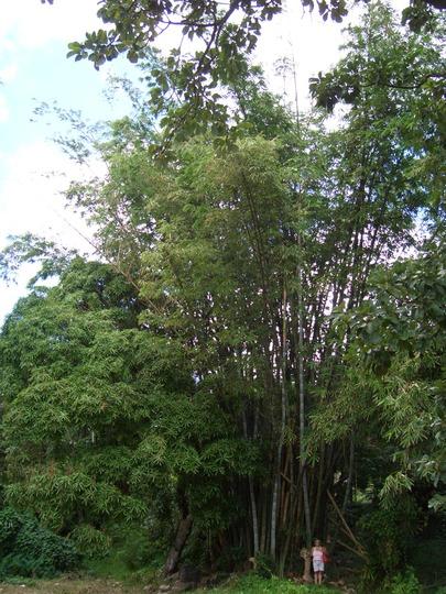 Mighty Bamboo