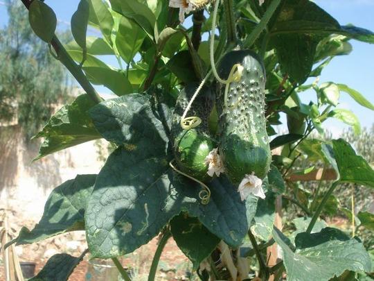 my cucumbers/in summer time (cucumber)
