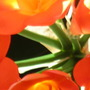 Clivia in bloom