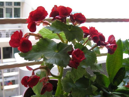 Red Begonia (begonia)