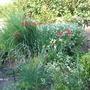 my garden (Dierama)